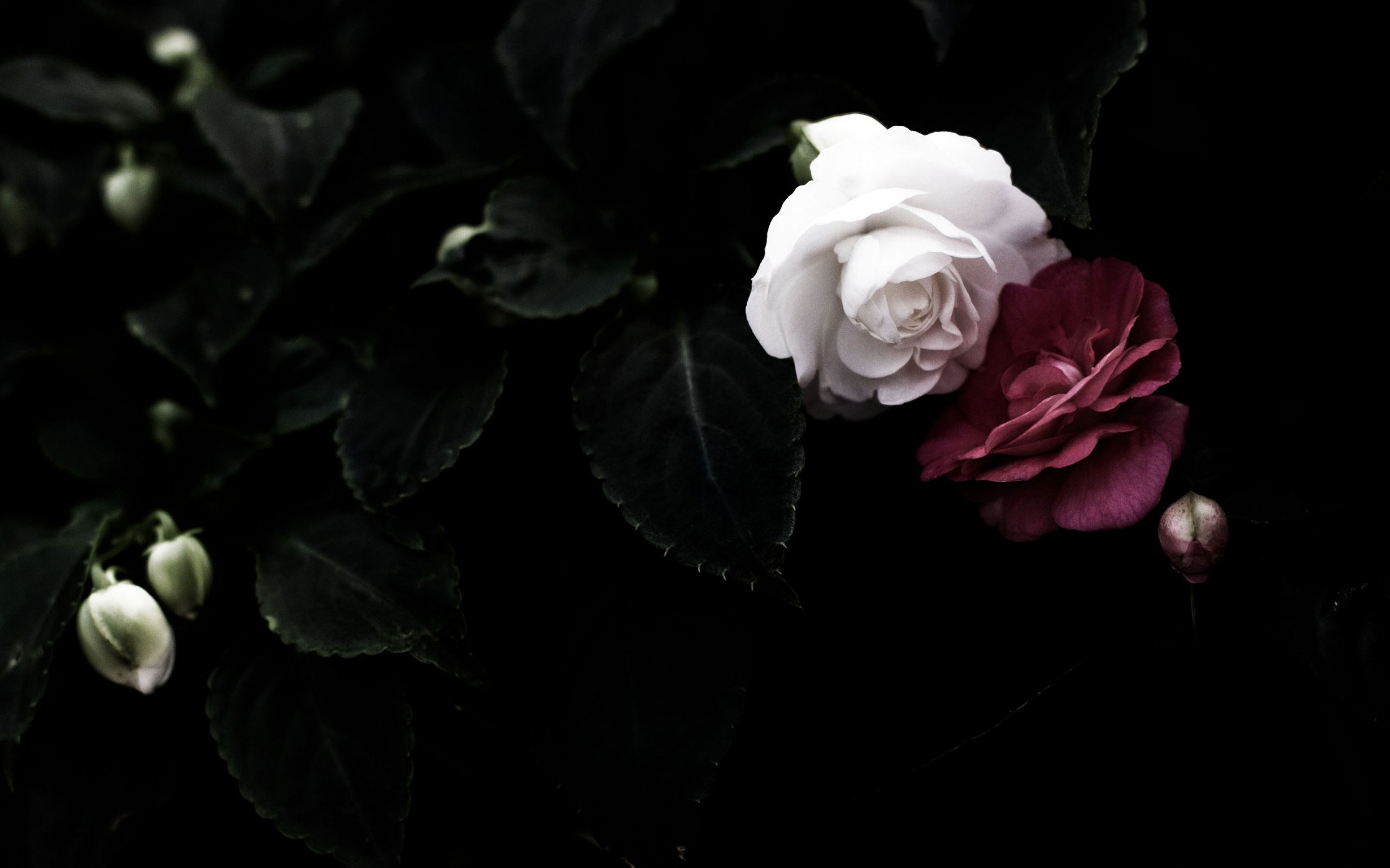 Black Rose Wallpapers High Quality | Download Free
