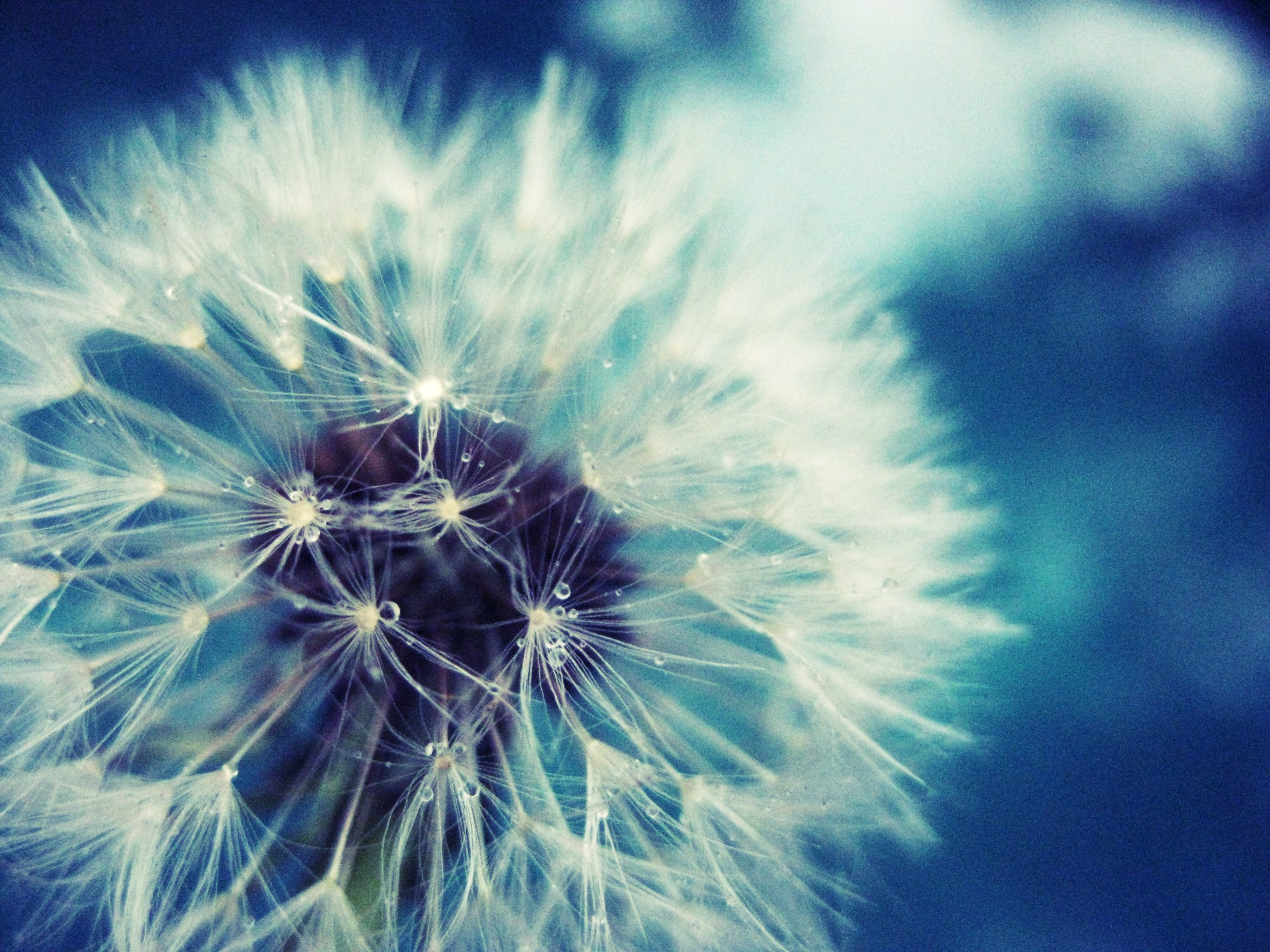 Dandelion Wallpapers High Quality
