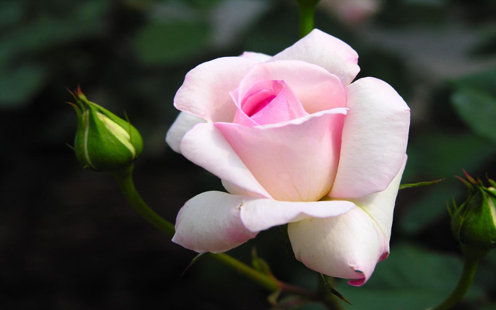White Rose Wallpapers High Quality   Download Free