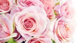 Pink Rose Photos