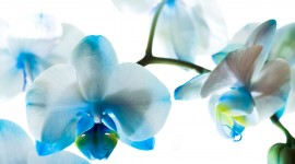 Blue Orchid background