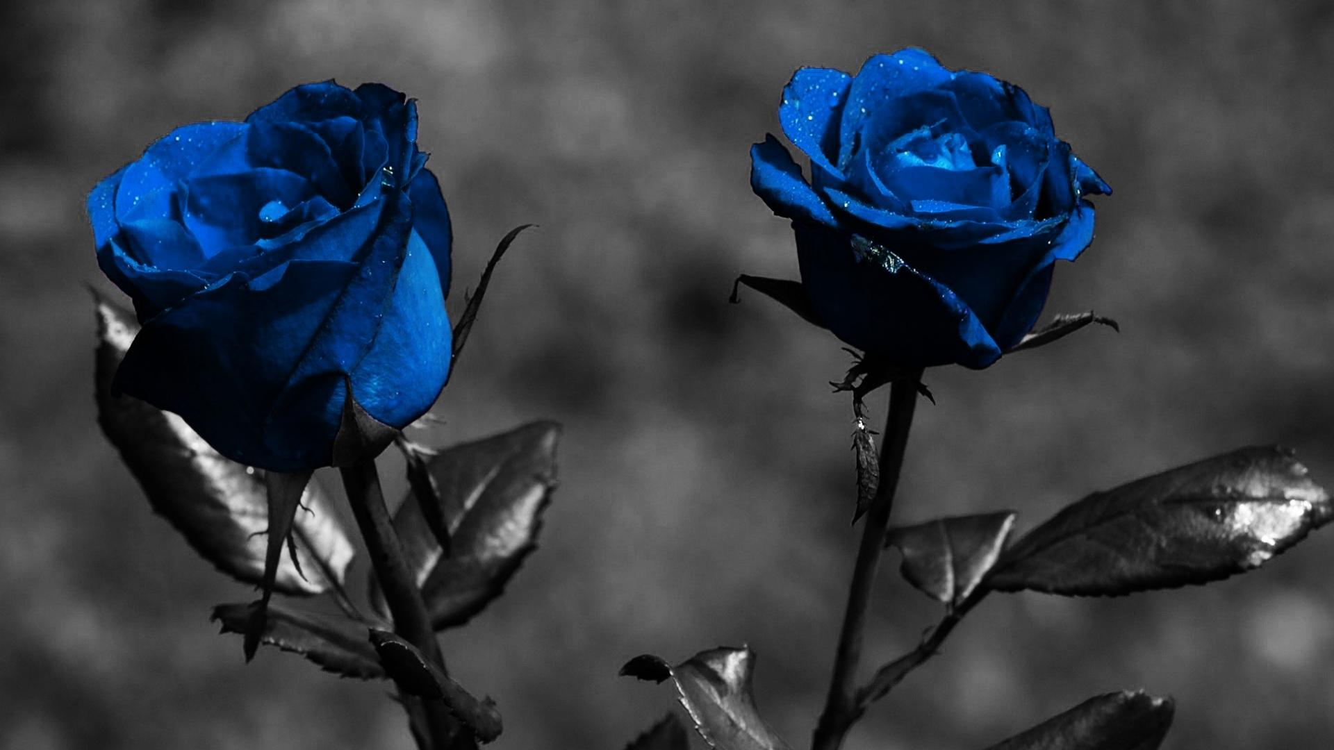 Black Rose Wallpapers High Quality Download Free