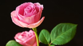 Pink Rose High quality wallpapers