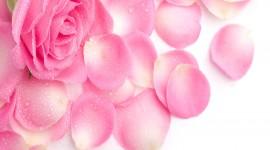 Pink Rose 4K