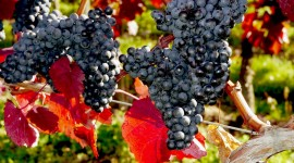 Grapes Pictures