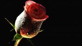 Black Rose 1080p