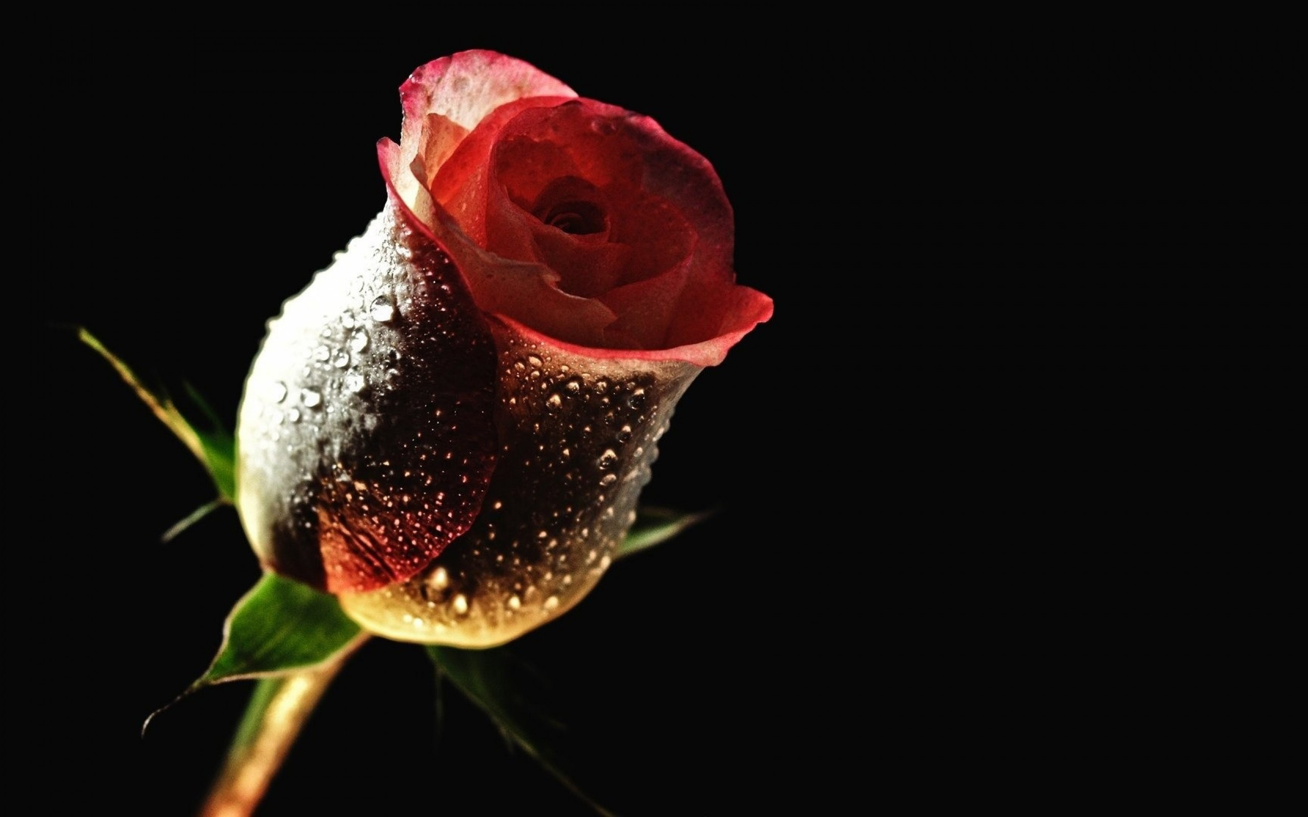 Hd wallpaper rose - Black Rose Wallpapers
