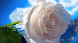 White Rose 1080p