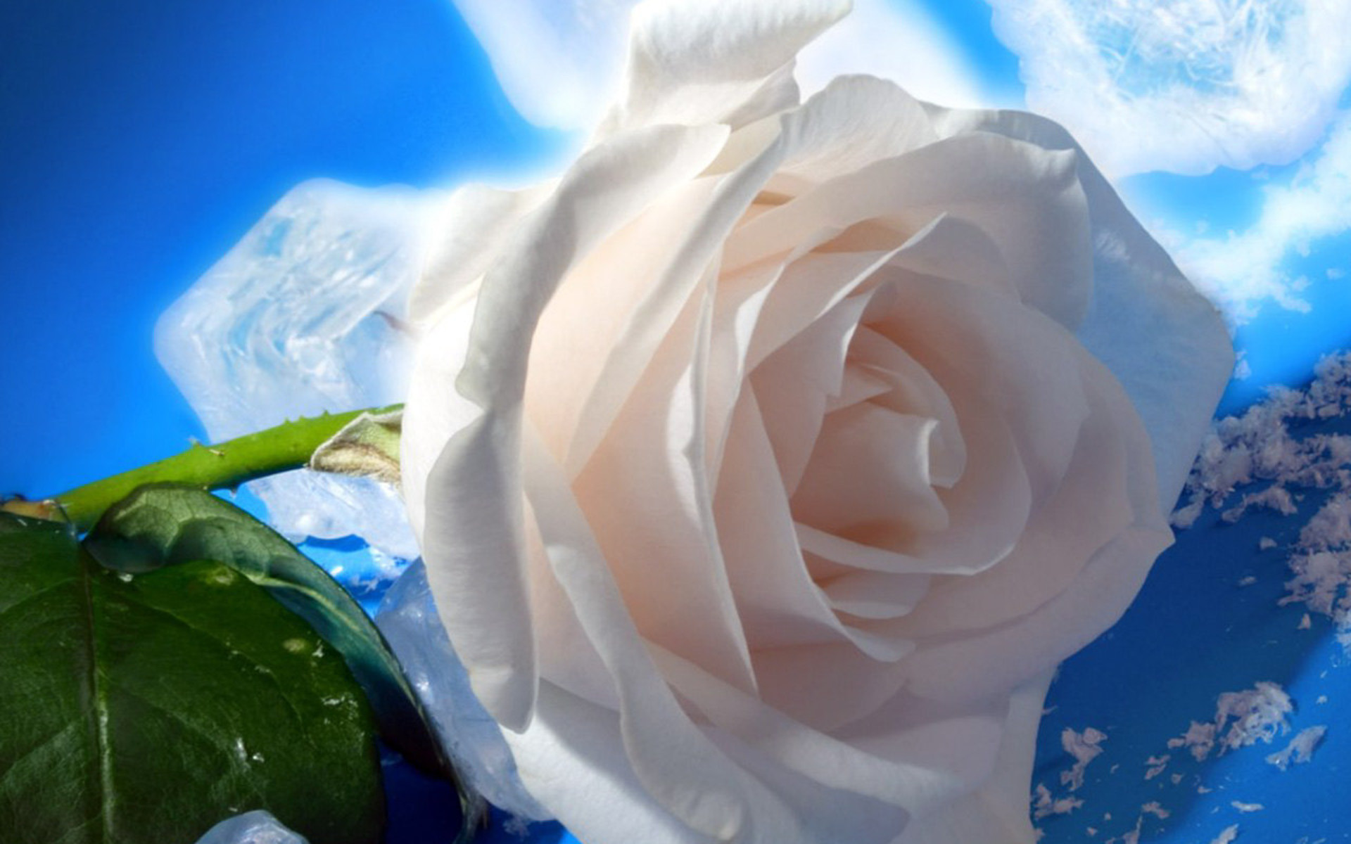Hd wallpaper rose - White Rose Wallpapers