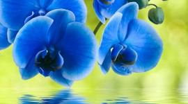 Blue Orchid Pics