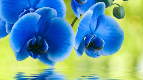 Blue Orchid wallpapers high quality