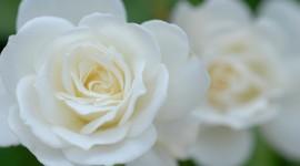 White Rose Pics