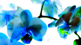 Blue Orchid Iphone wallpapers