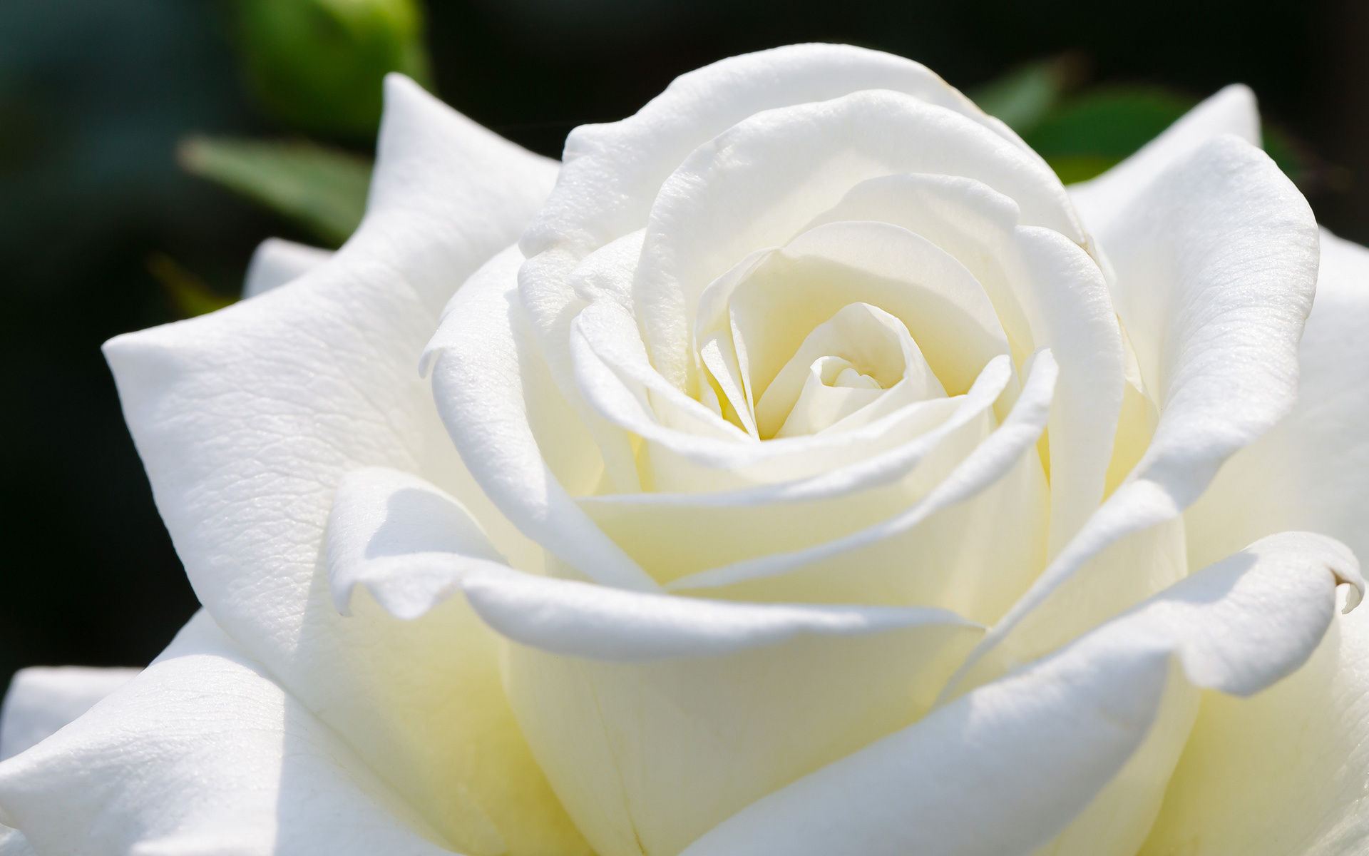 White Rose Wallpapers High Quality