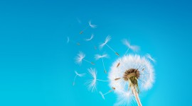 Dandelion High Definition