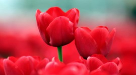 Tulips Widescreen
