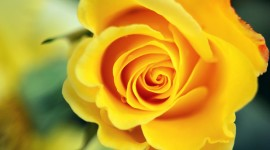 Yellow Rose Download for desktop