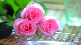 Pink Rose High Definition