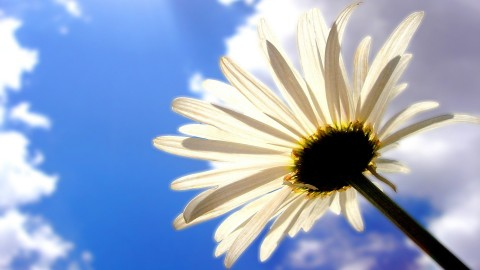 Chamomile wallpapers high quality