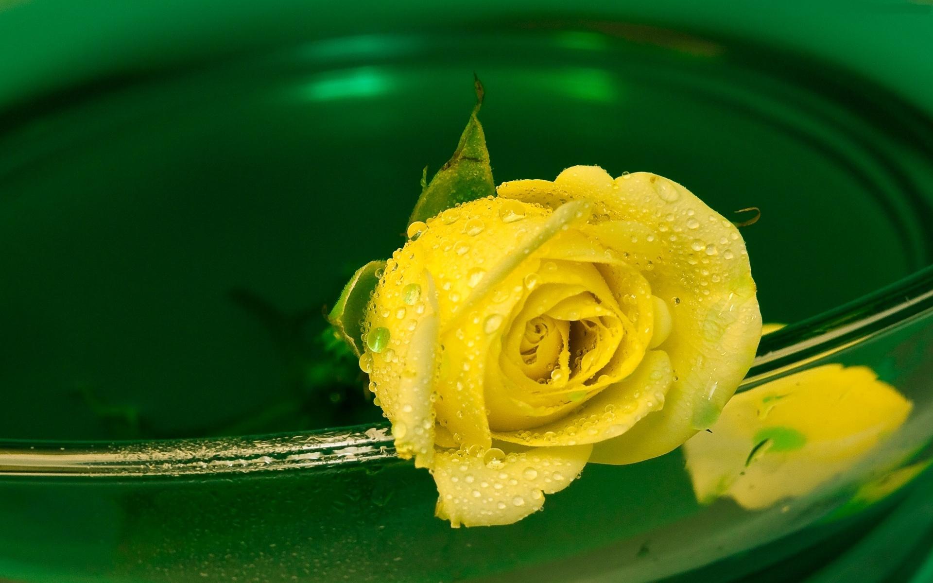 Hd wallpaper yellow rose - Yellow Rose Wallpapers
