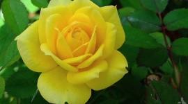 Yellow Rose Pics