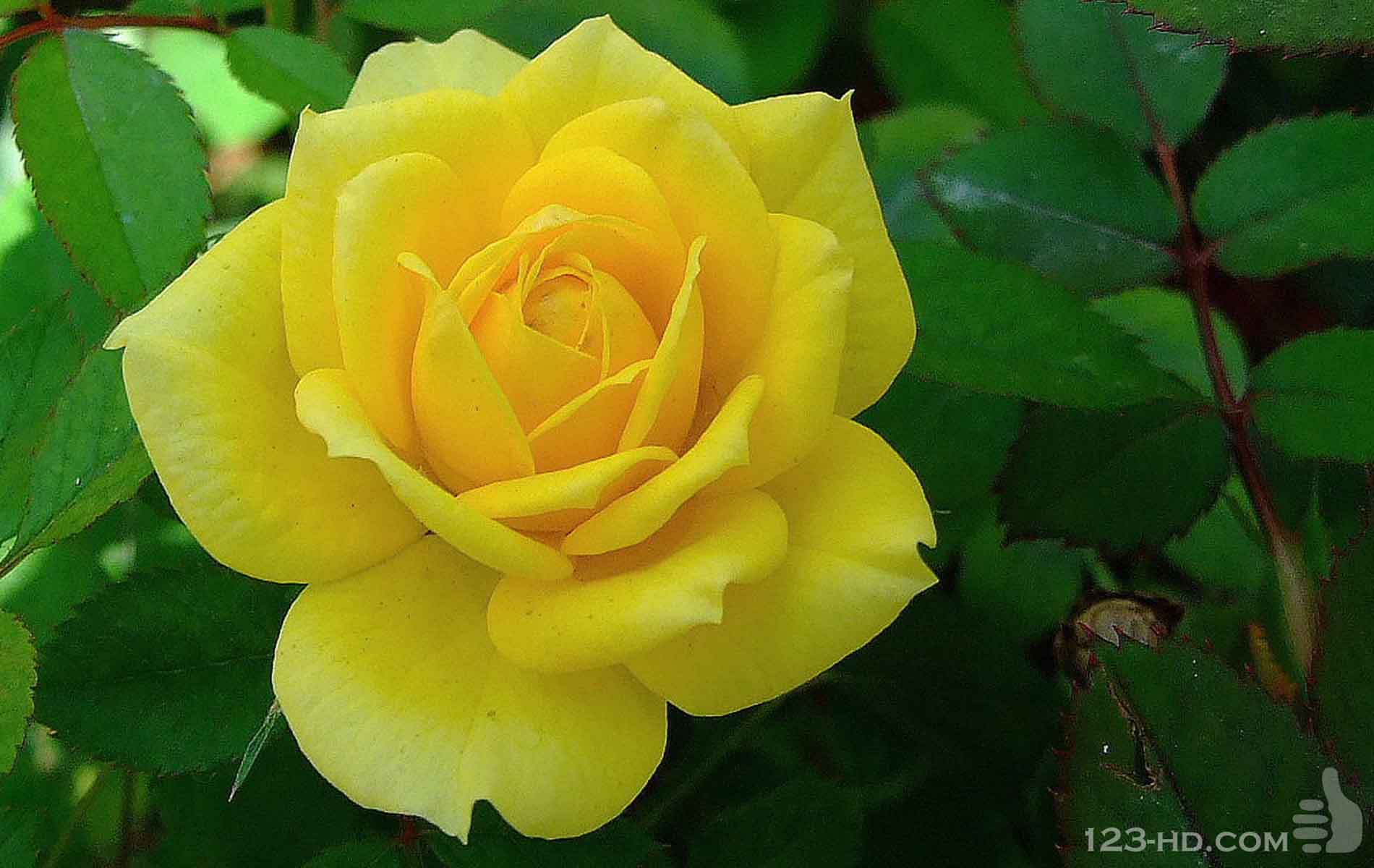 Yellow rose wallpapers high quality download free - Yellow rose images hd ...