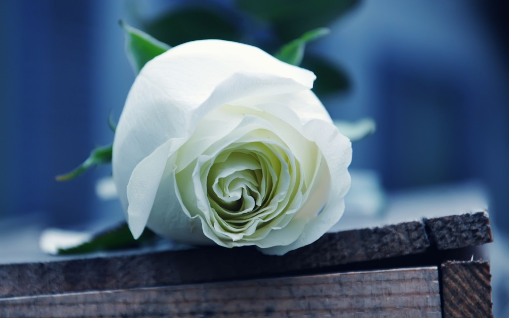 White Rose wallpapers HD