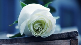 White Rose Download for desktop
