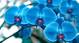 Blue Orchid pic