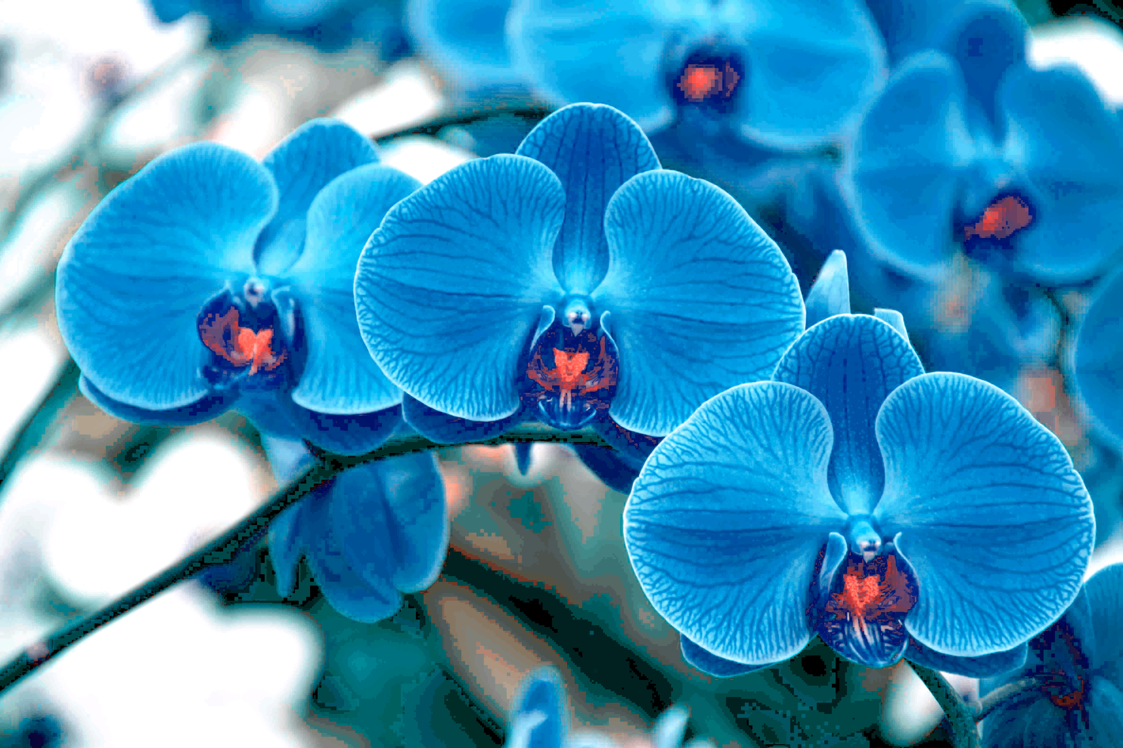 Pictures of blue orchids flowers Alii Flowers - Hawaiian Flowers Fresh Leis Gift Baskets