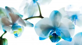 Blue Orchid HD