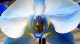 Blue Orchid 1080p