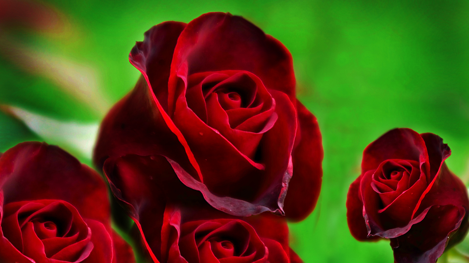 Red rose wallpapers high quality download free - Images of red roses hd ...