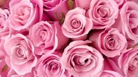 Pink Rose Free download