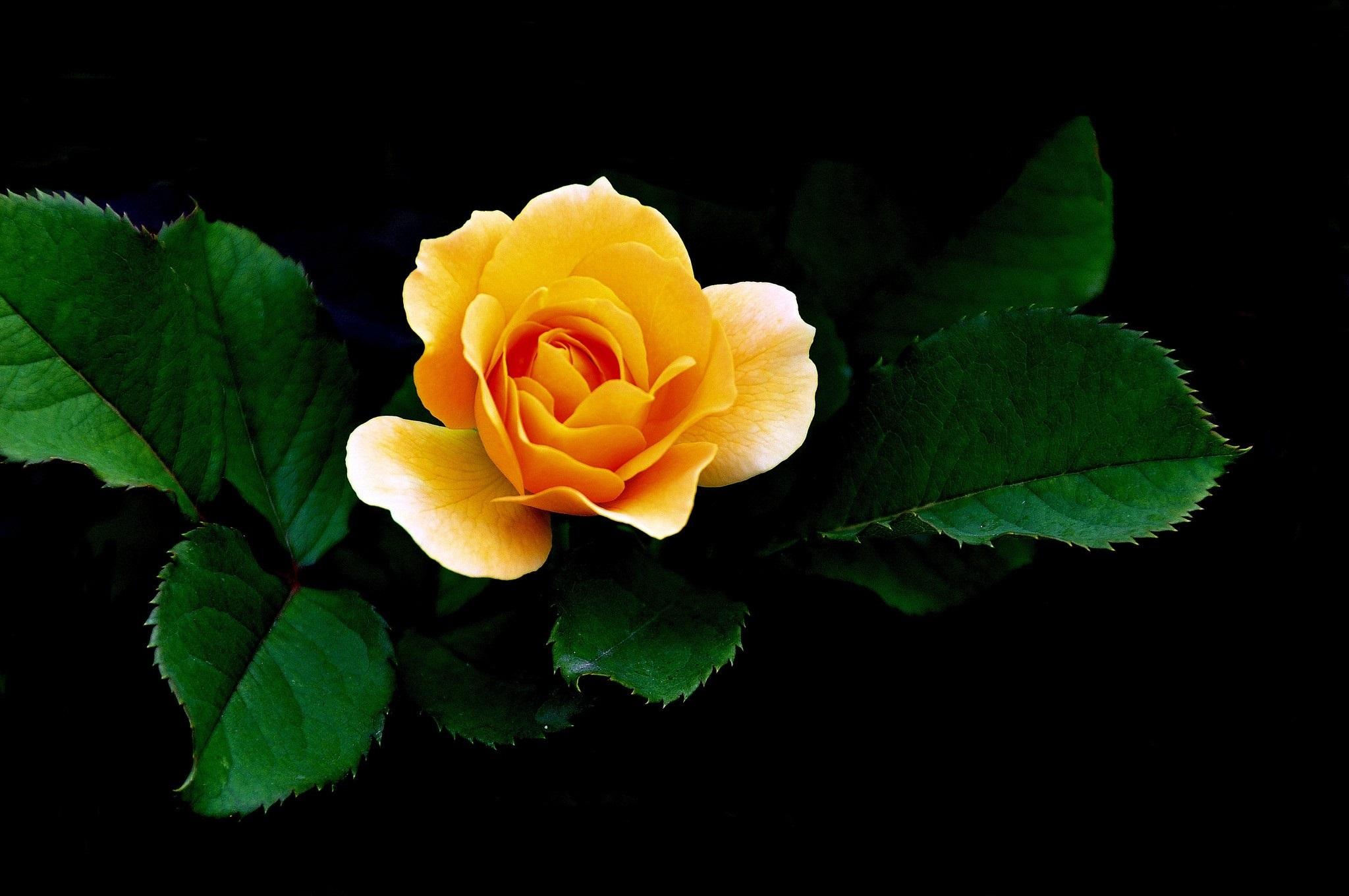 Hd wallpaper yellow rose - Hd Wallpaper Yellow Rose Hd Wallpaper Yellow Rose 7