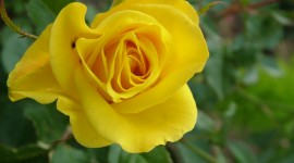 Yellow Rose Images