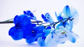 Blue Orchid Photos