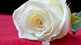 White Rose Free download