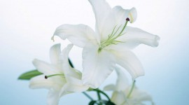 Lily Flowers Wallpaper