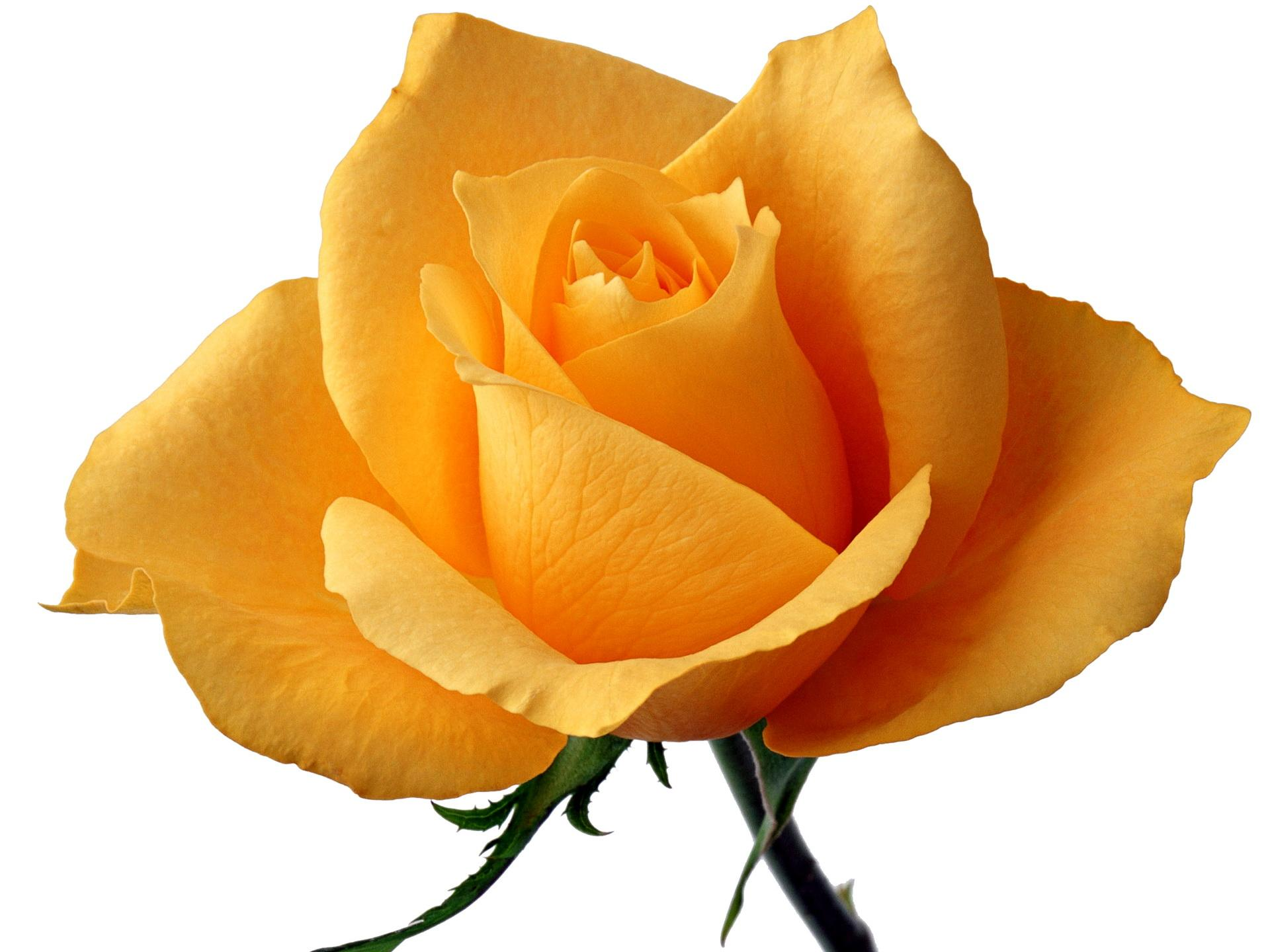 Yellow Rose Wallpapers High Quality