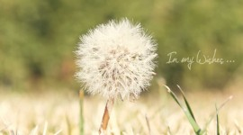 Dandelion Wallpapers HQ