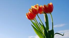 Tulips 4K