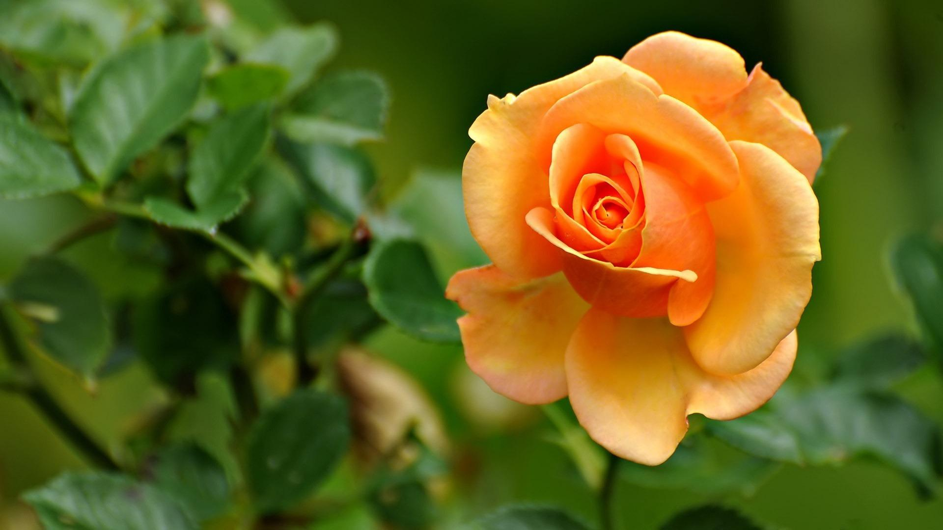 Yellow Rose Wallpapers High Quality | Download Free