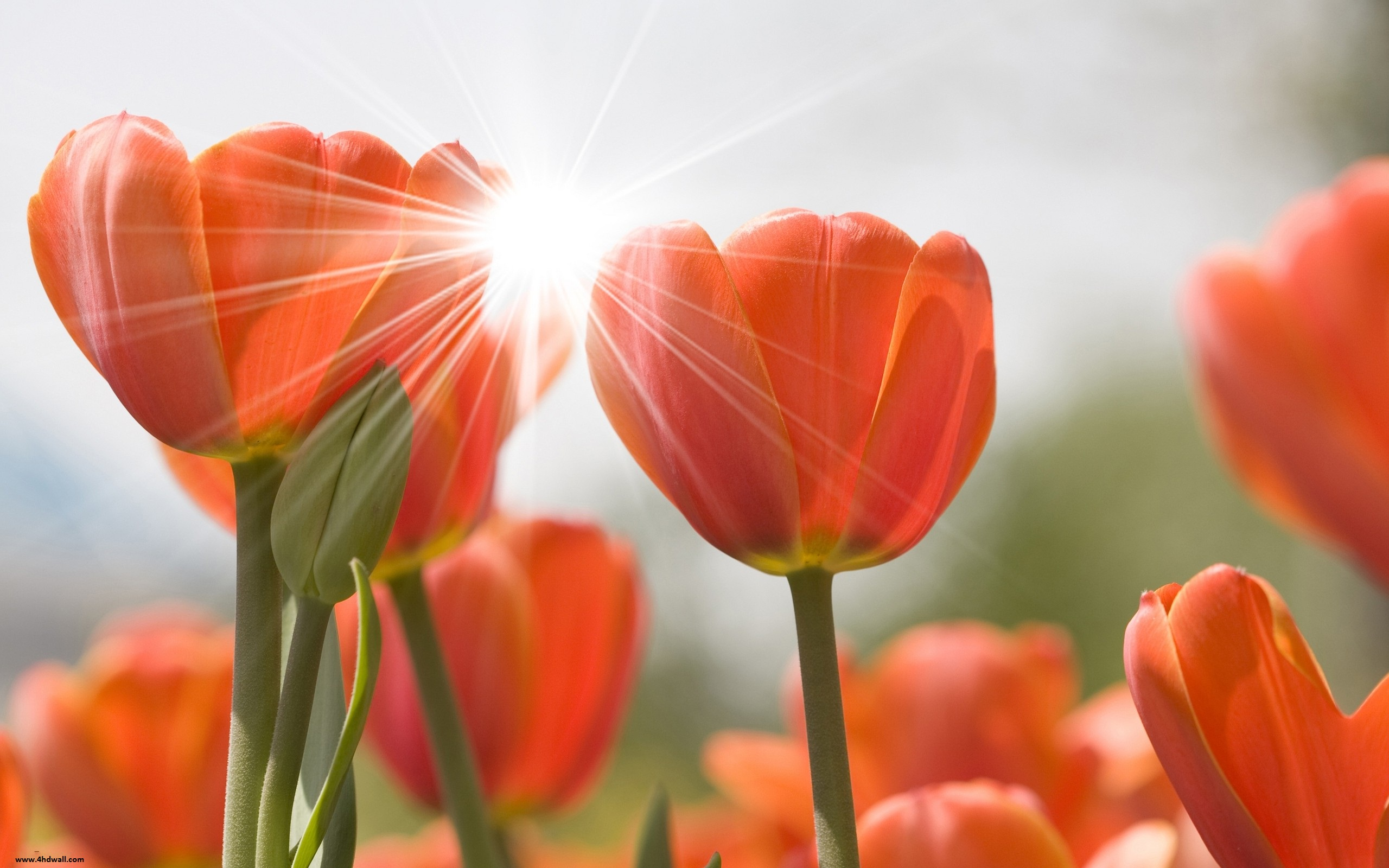Tulips Wallpapers High Quality