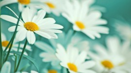 Chamomile Wallpapers HQ