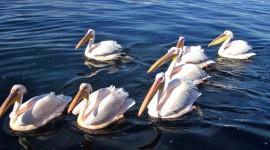 Pelican free