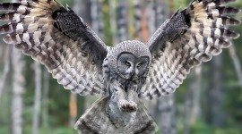 White Owl HD Wallpapers