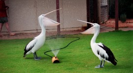 Pelican 1080p