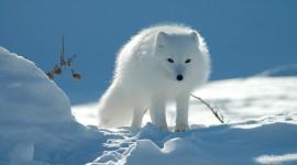 Arctic Fox 1080p