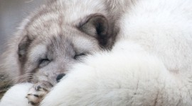 Arctic Fox Pictures